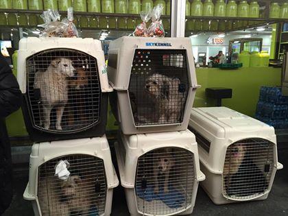 12 chiens ont arrives en Suisse